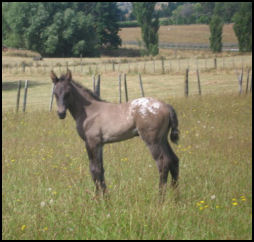 Knabstrupper filly New Zealand